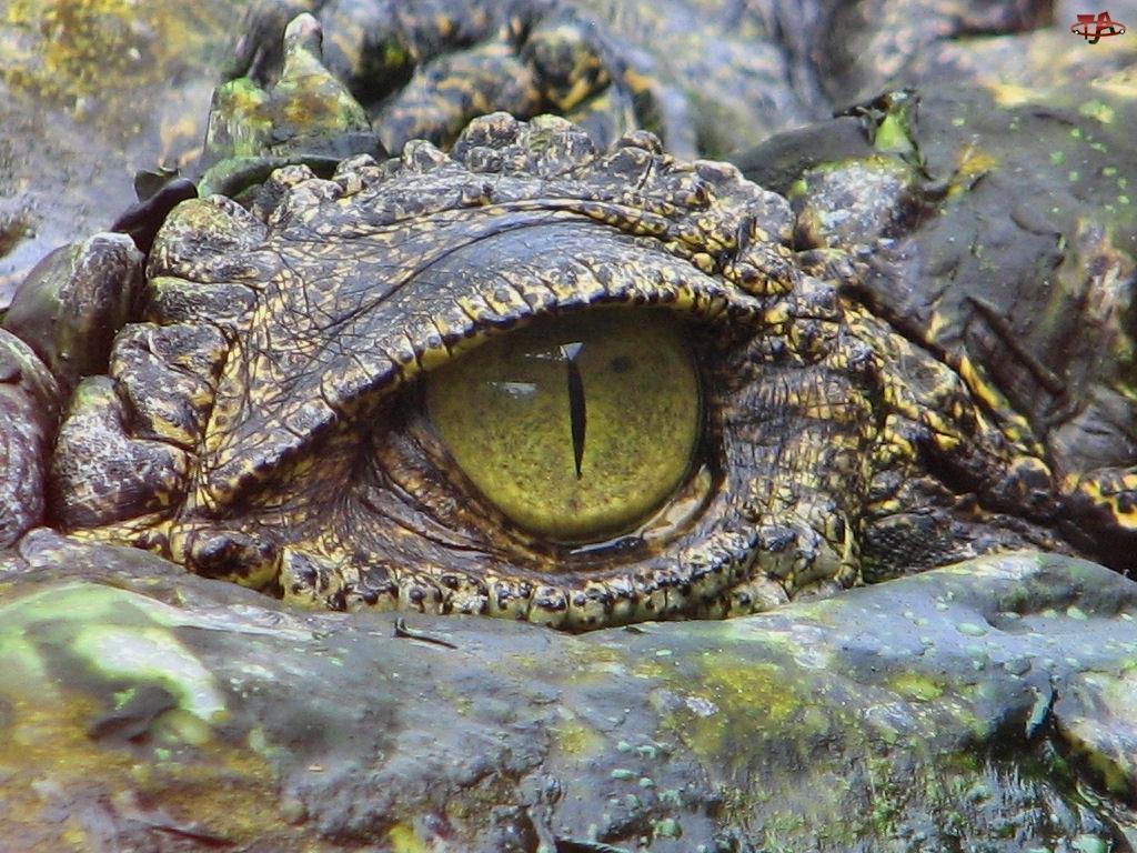 Krokodyla, Głowa, Oko