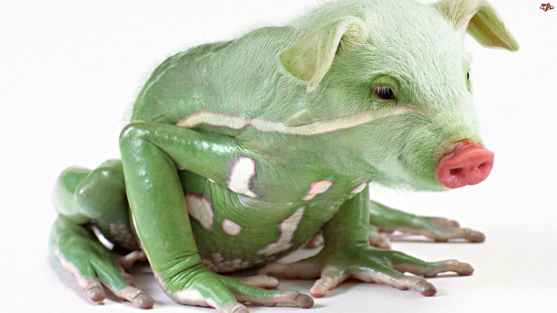 Żaba, Zielona, Świnka