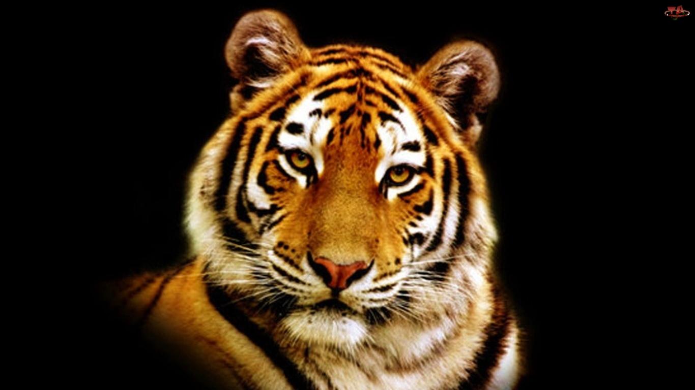 Nos, Tygrys, Wąsy