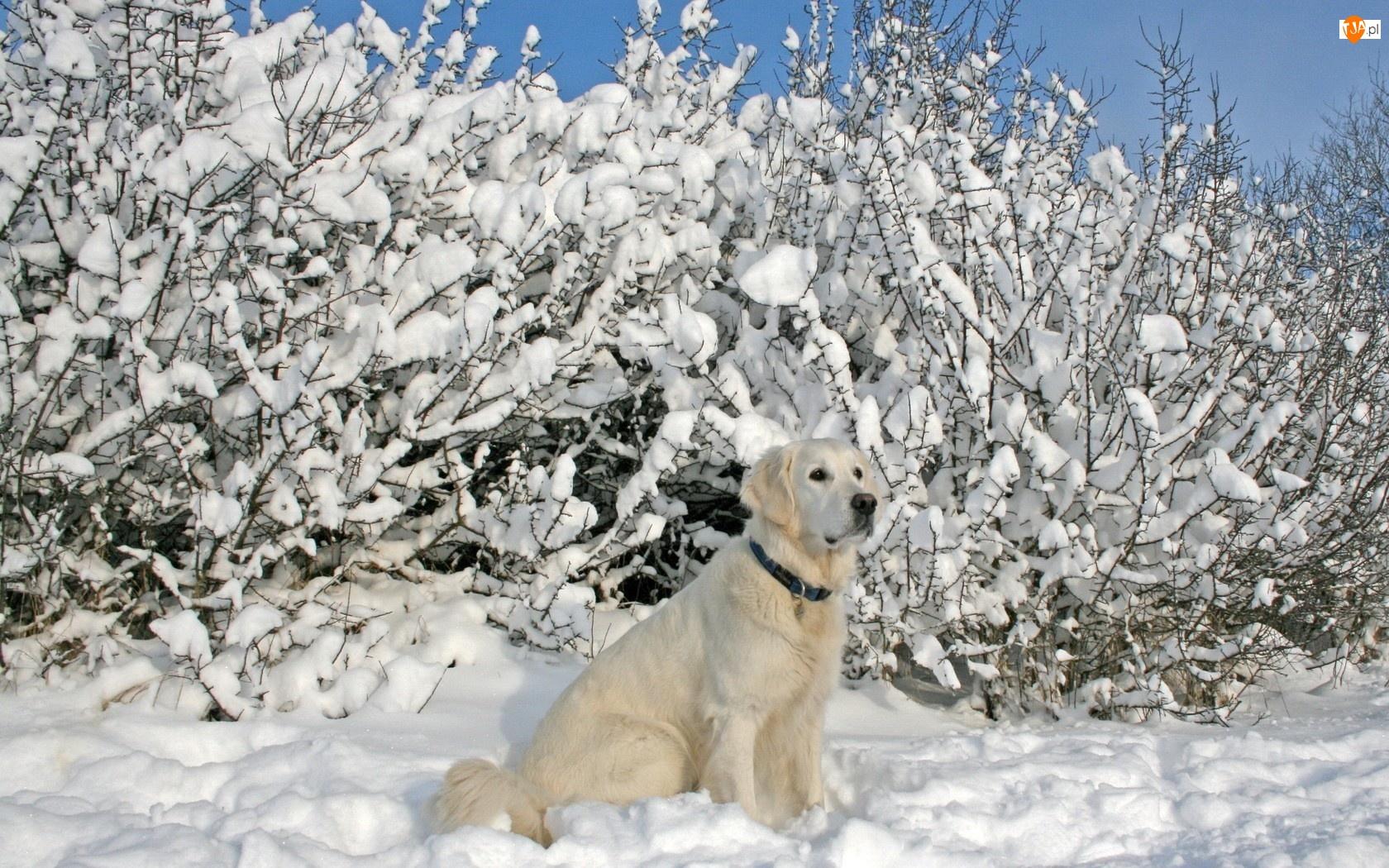 Śnieg, Labrador, Krzewy, Biszkoptowy