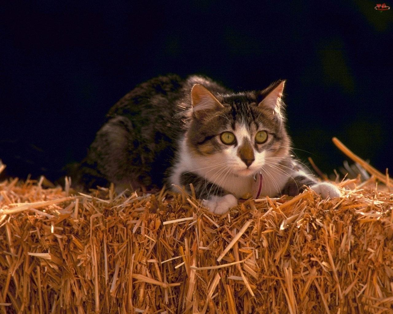Polowanie, Kot, Słoma