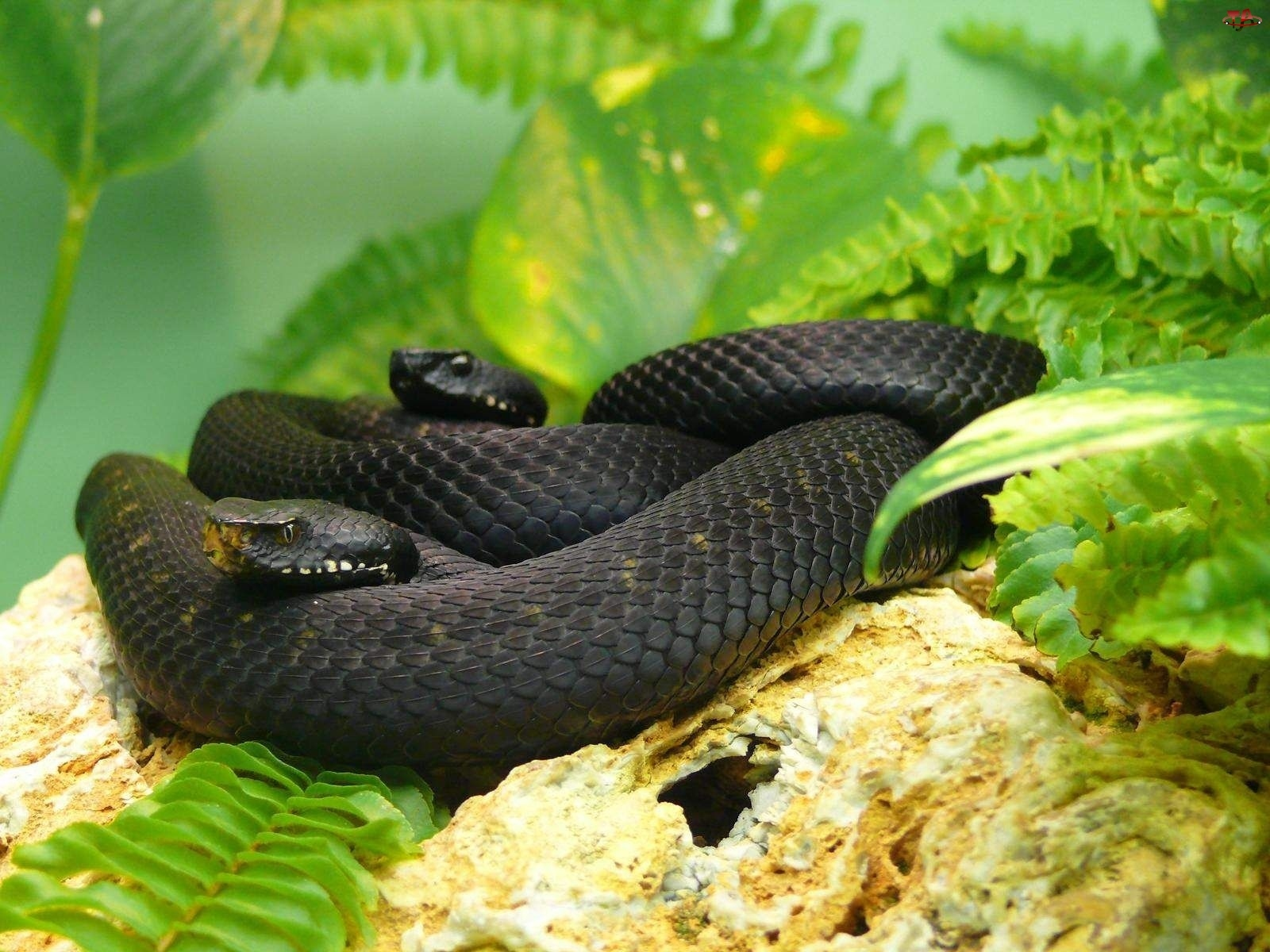 Jadowite, Węże