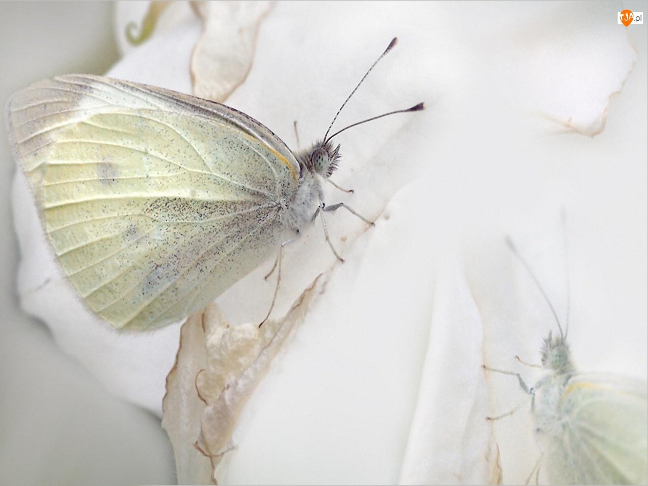 Bielinek, Biały, Motyl