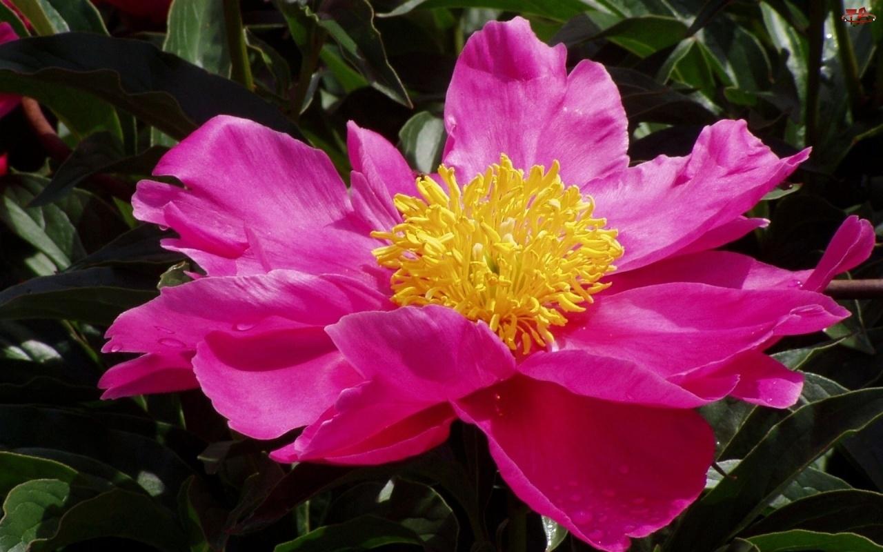 Pręciki, Piwonia, Kwiat, Różowy, Żółte