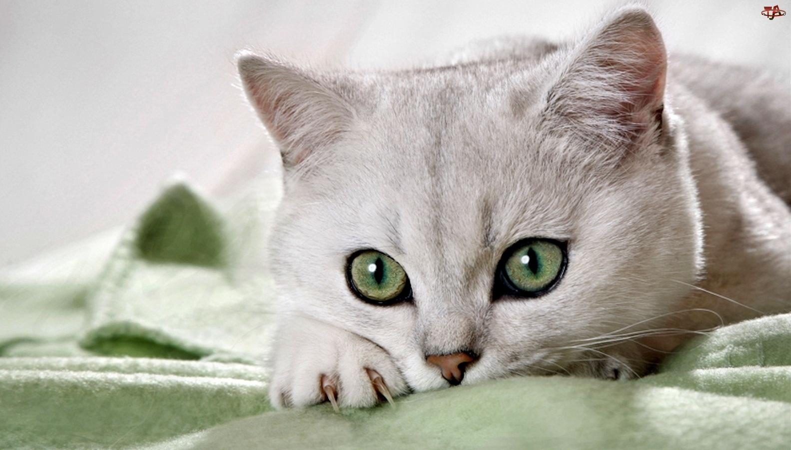 Oczy, Piękny, Kot, Biały, Zielone