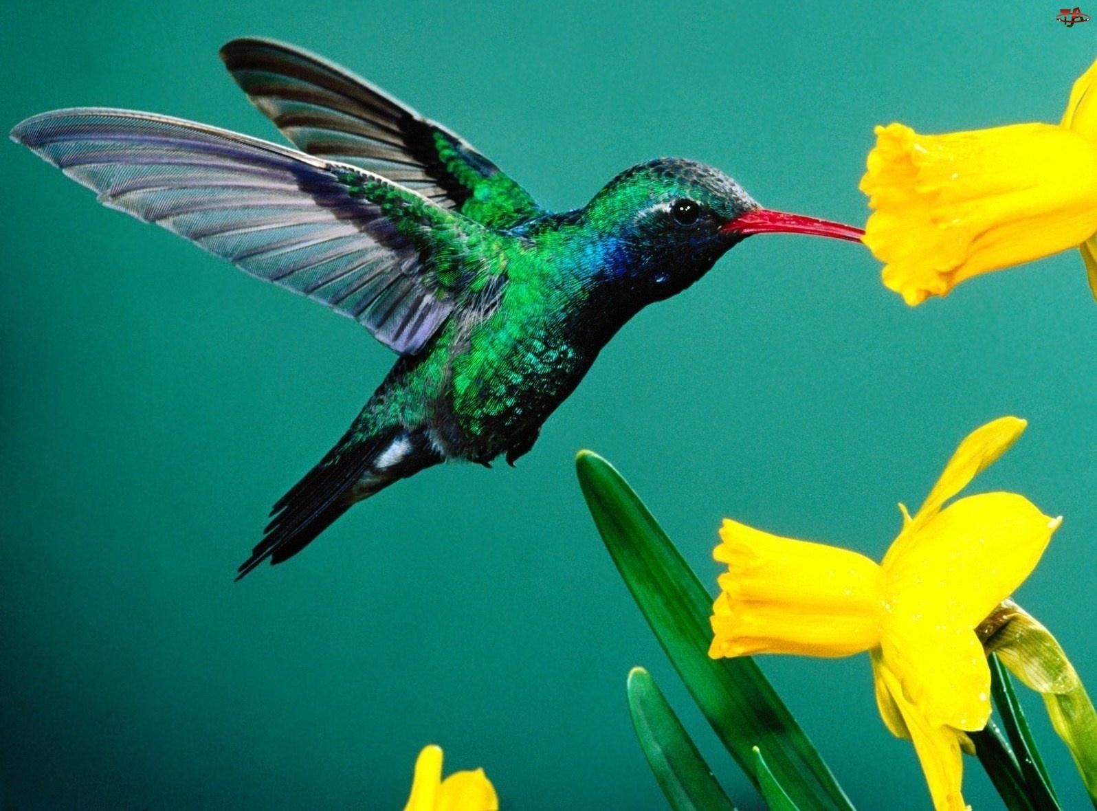 Koliber, Żonkile
