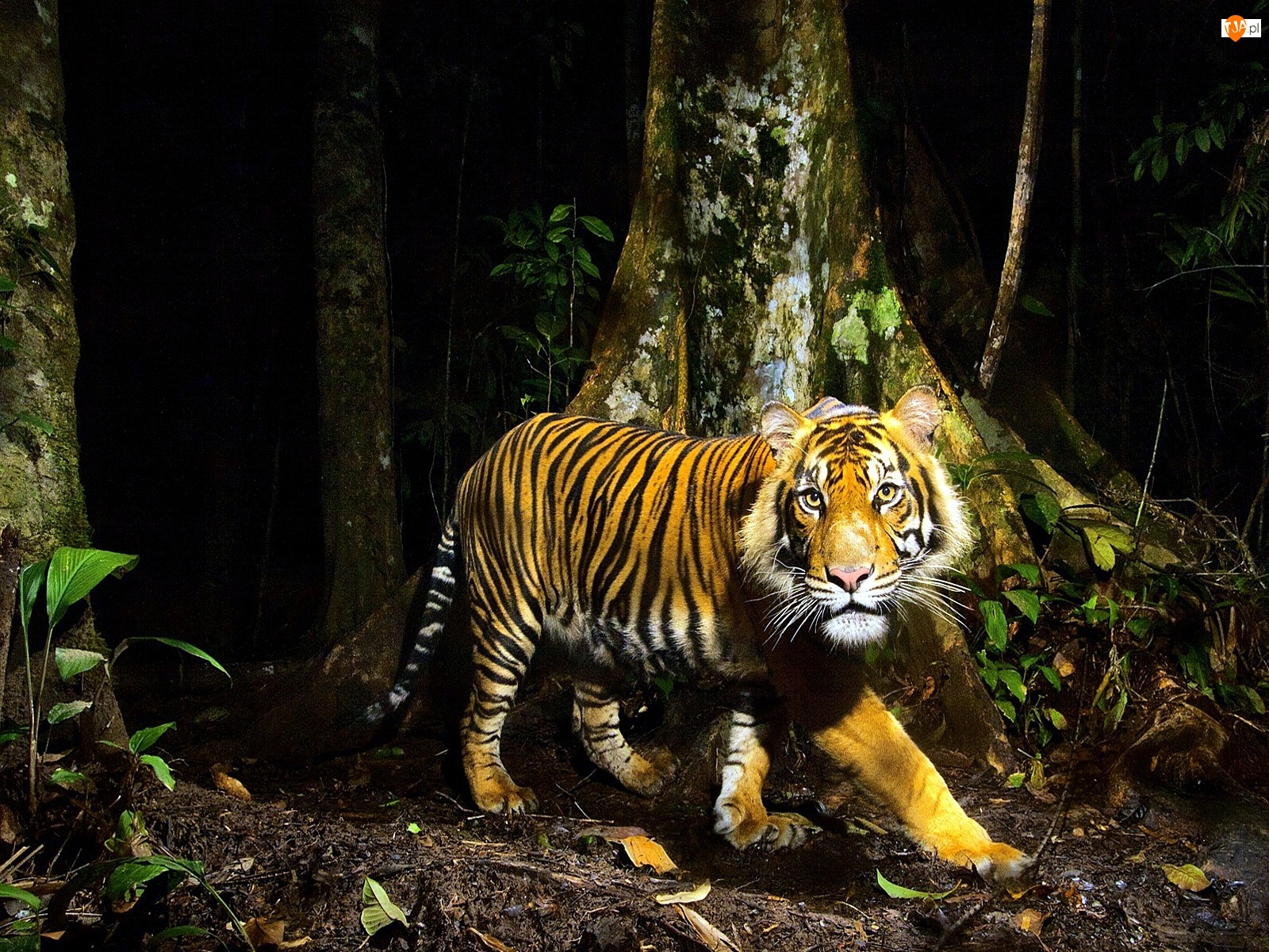 Tygrys, Drzewa