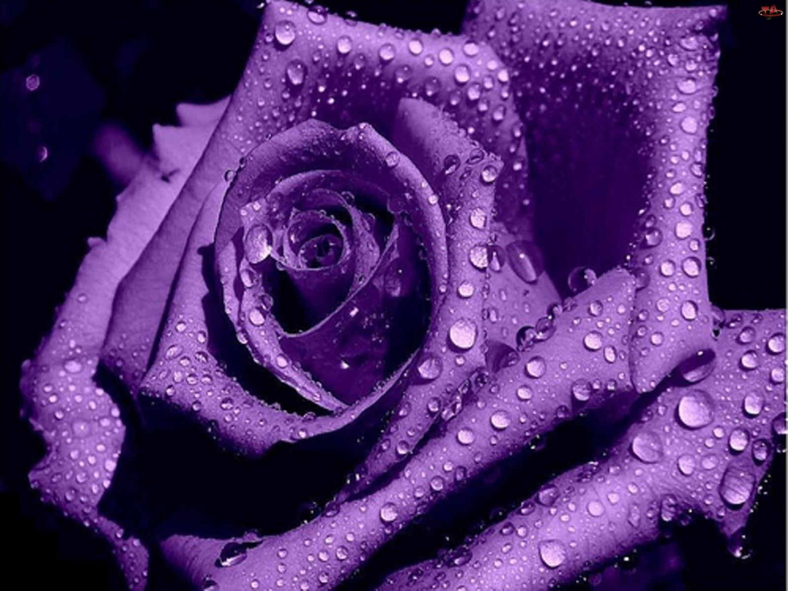 Róża, Fioletowa
