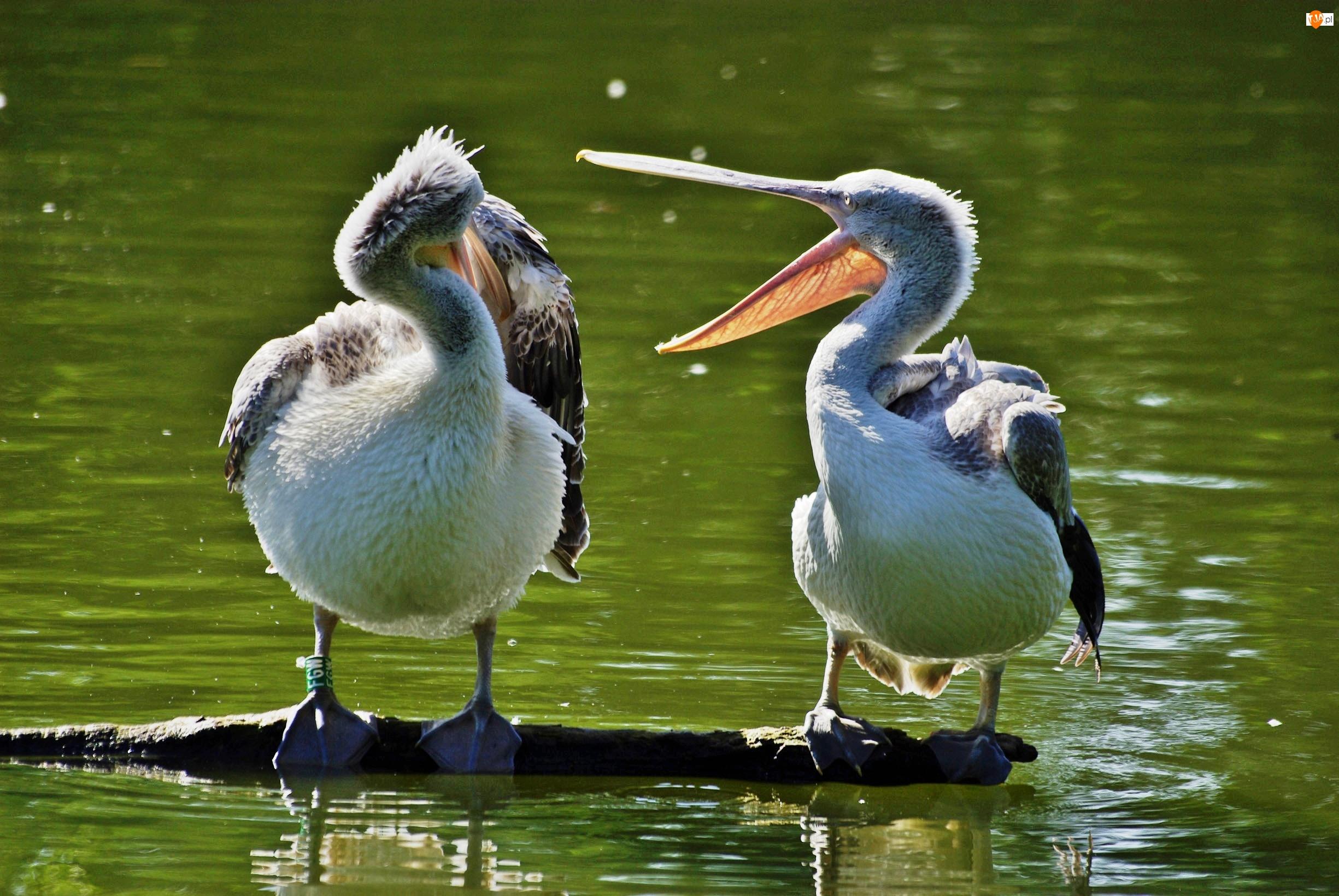 Dwa, Woda, Pelikany, Kłoda