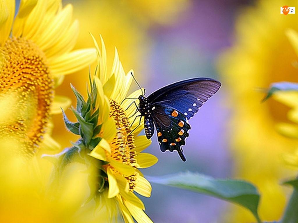 Motyl, Słoneczniki, Ozdobne