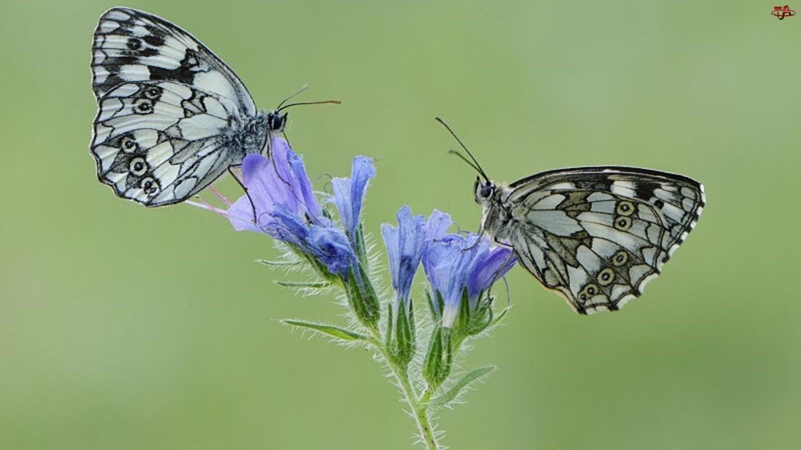 Niebieski, Motyle, Kwiat, Dwa