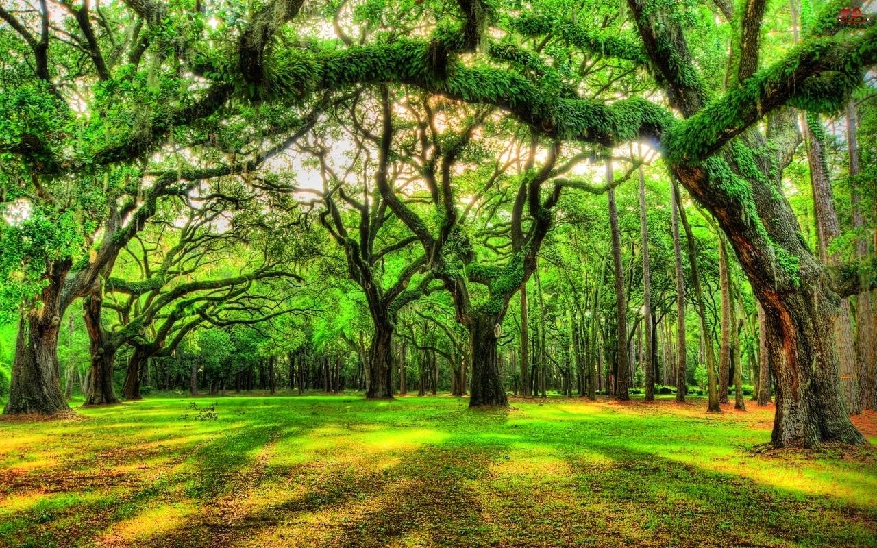 Drzewa, Bluszcz