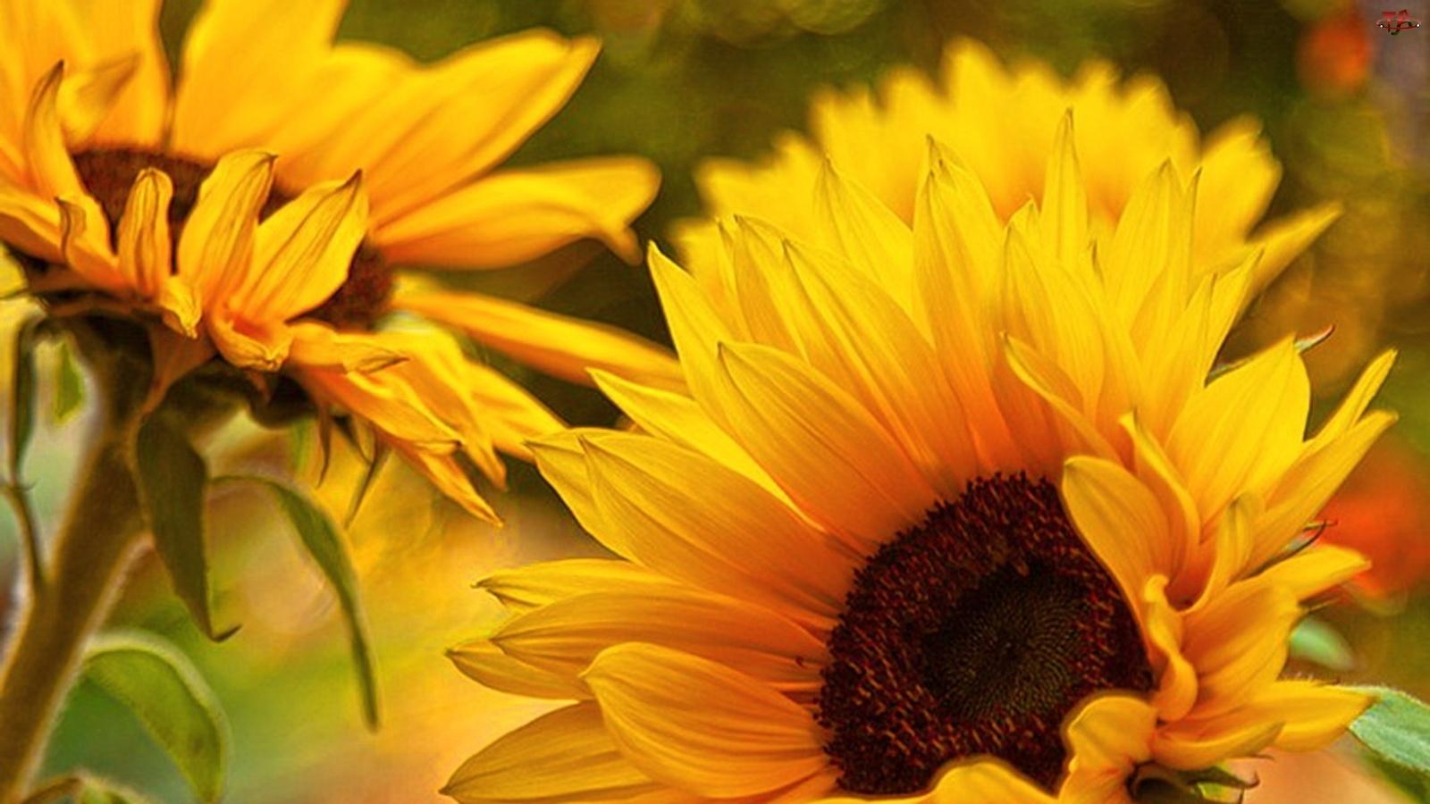 Piękne, Słoneczniki