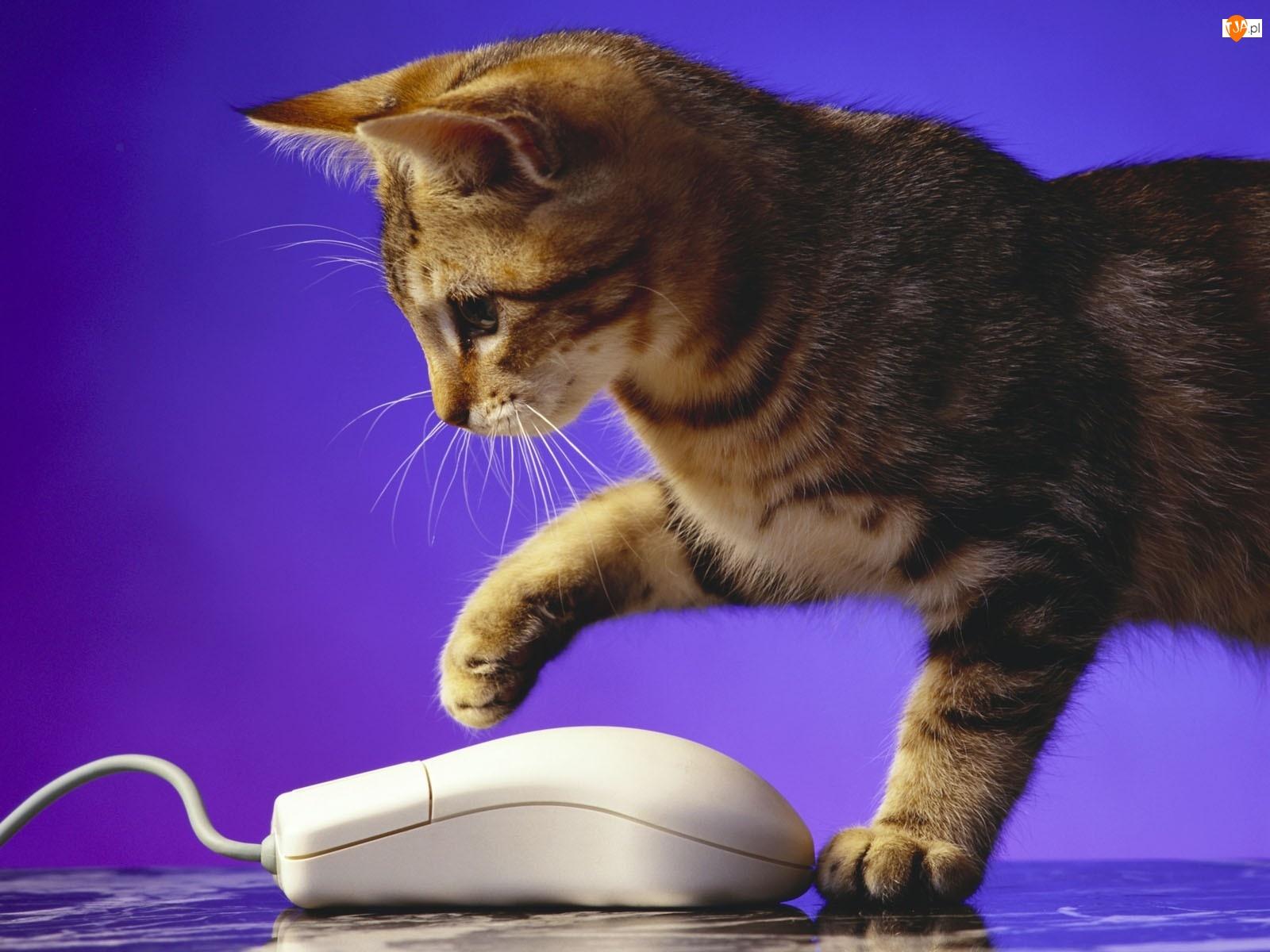 Komputerowa, Kotek, Mysz