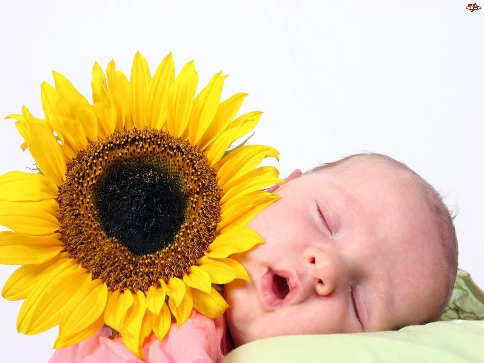Słonecznik, Śpiące, Dziecko
