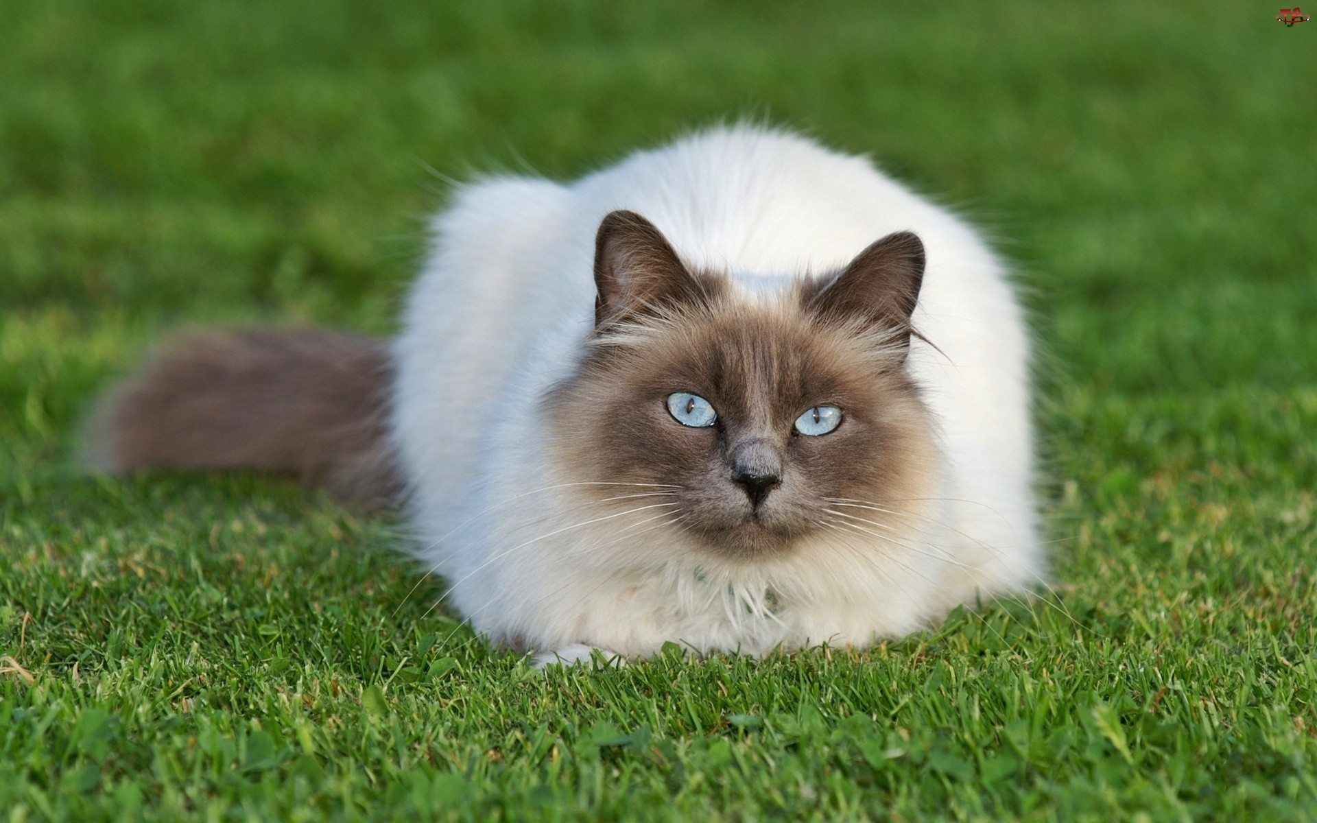 Oczy, Kot, Trawnik, Syjamski, Błękitne
