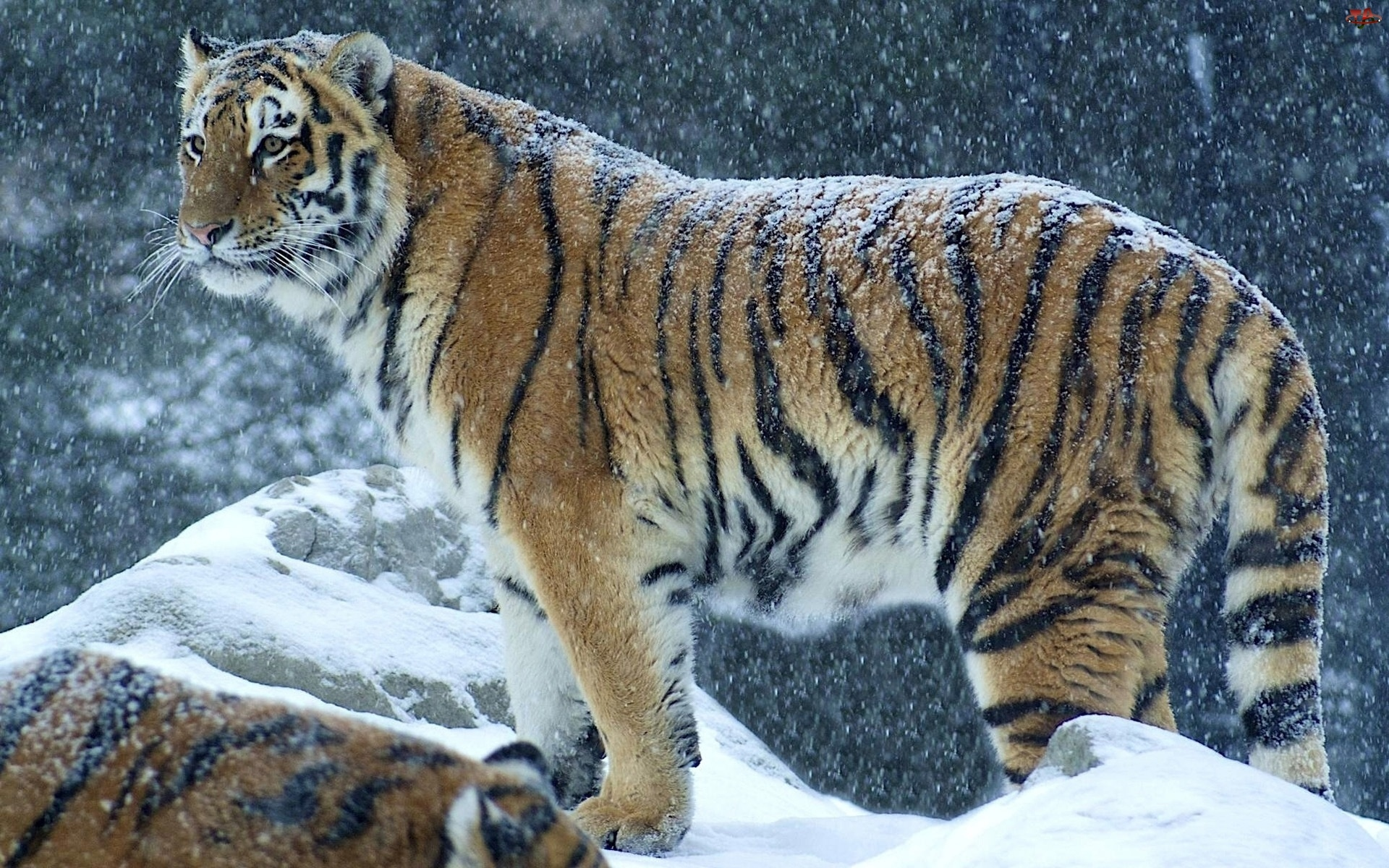 Tygrys, Zima, Śnieg