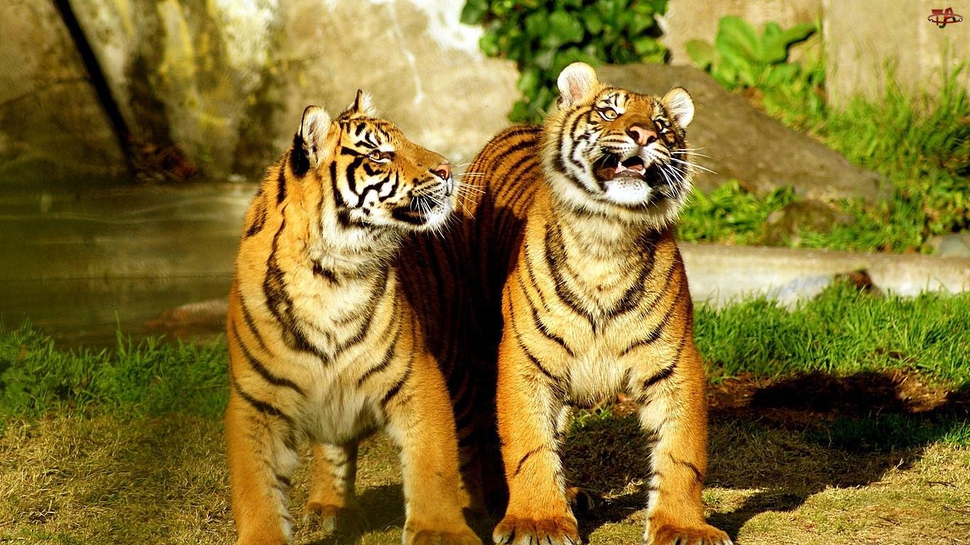 Tygrysy, Koty