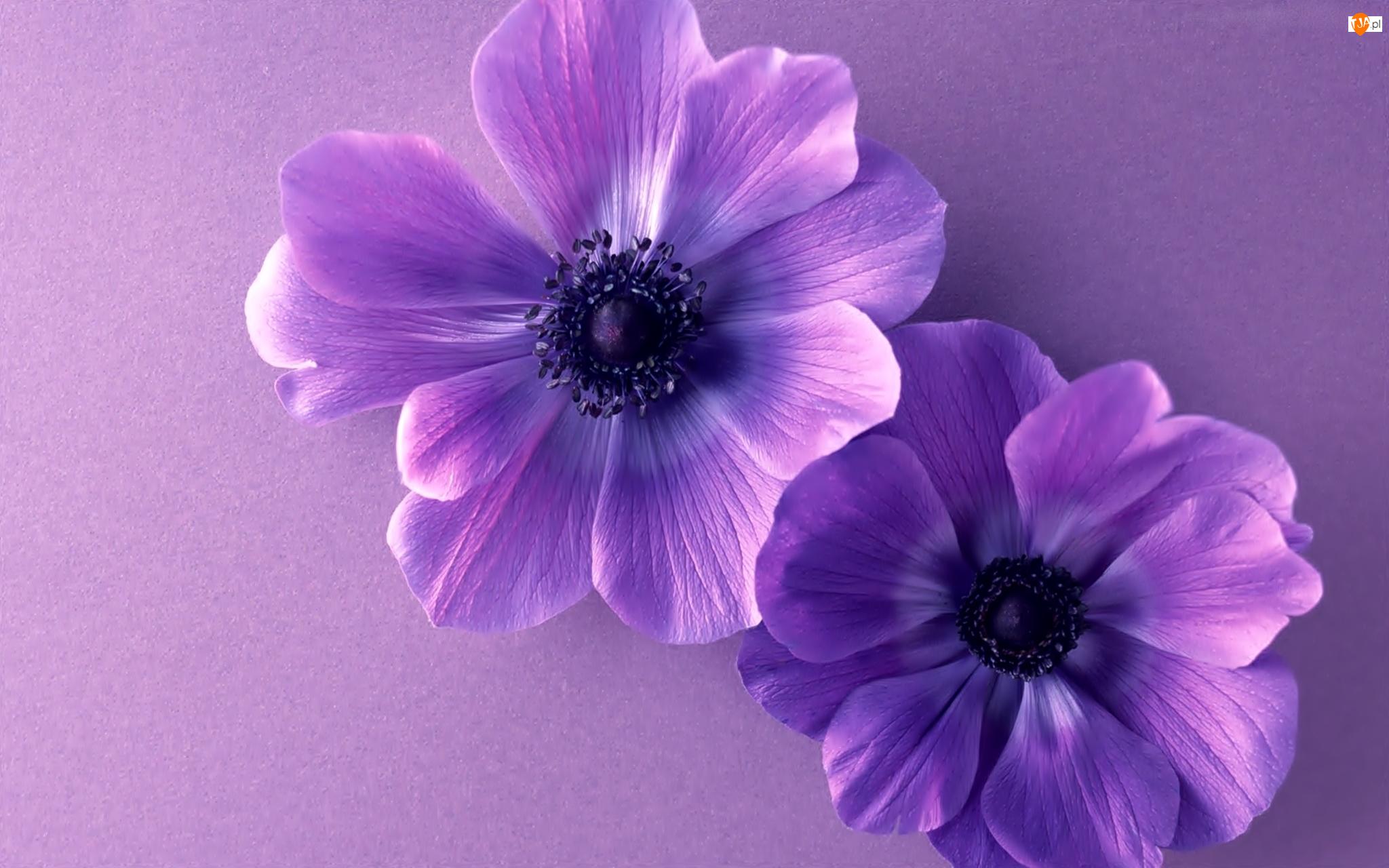 Kwiatuszki, Dwa, Fioletowe