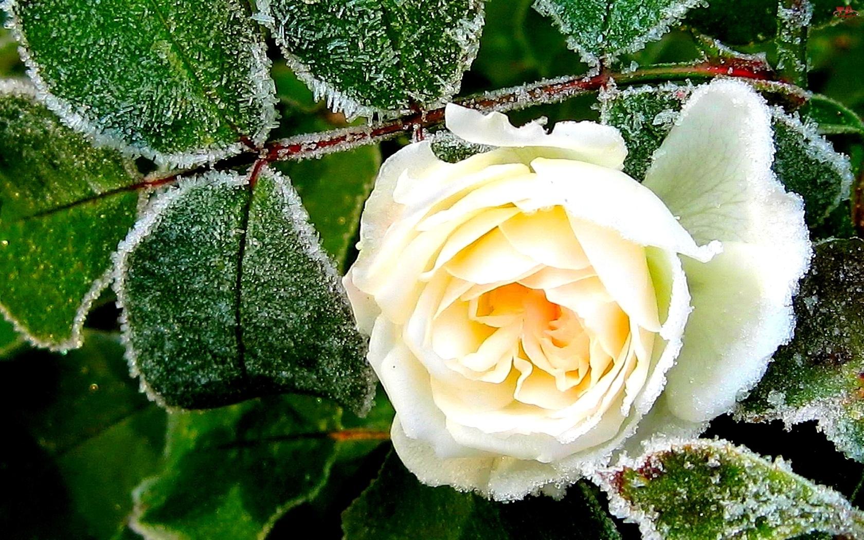 Zielone, Róża, Zmrożone, Listki