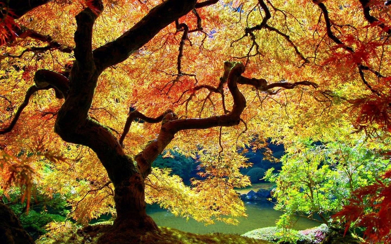Jesień, Klon japoński
