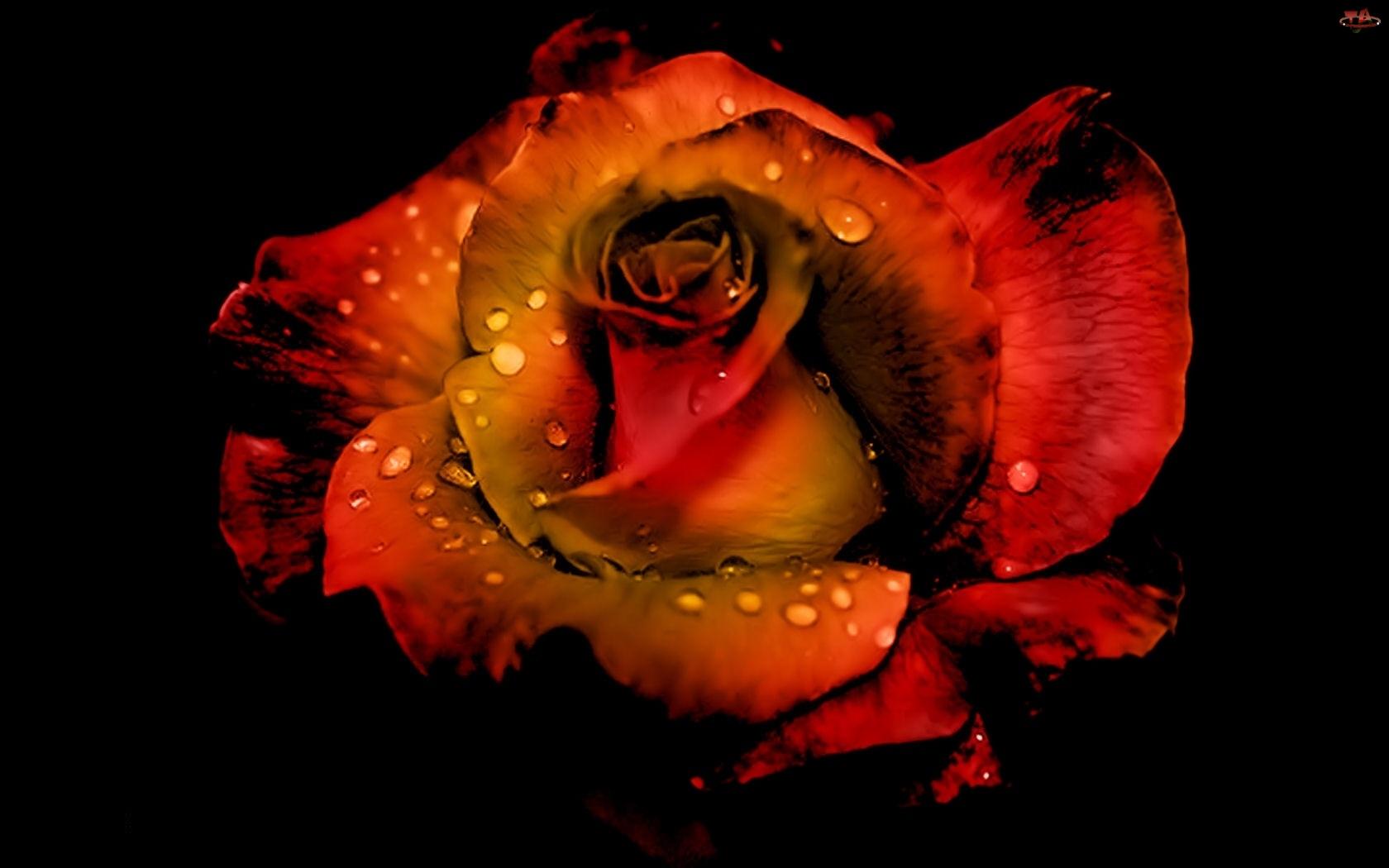 Wody, Róża, Krople