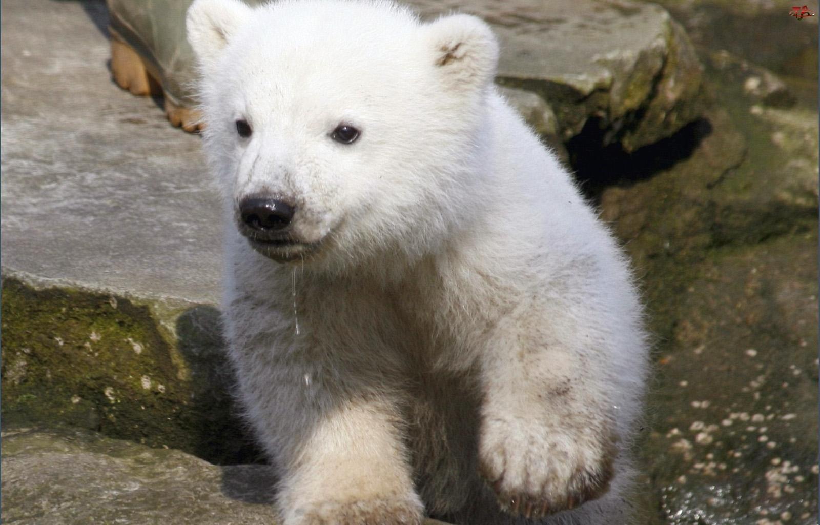 Niedźwiadek, Mały, Biały