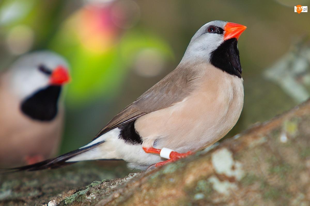 Ptaszki, Zeberki