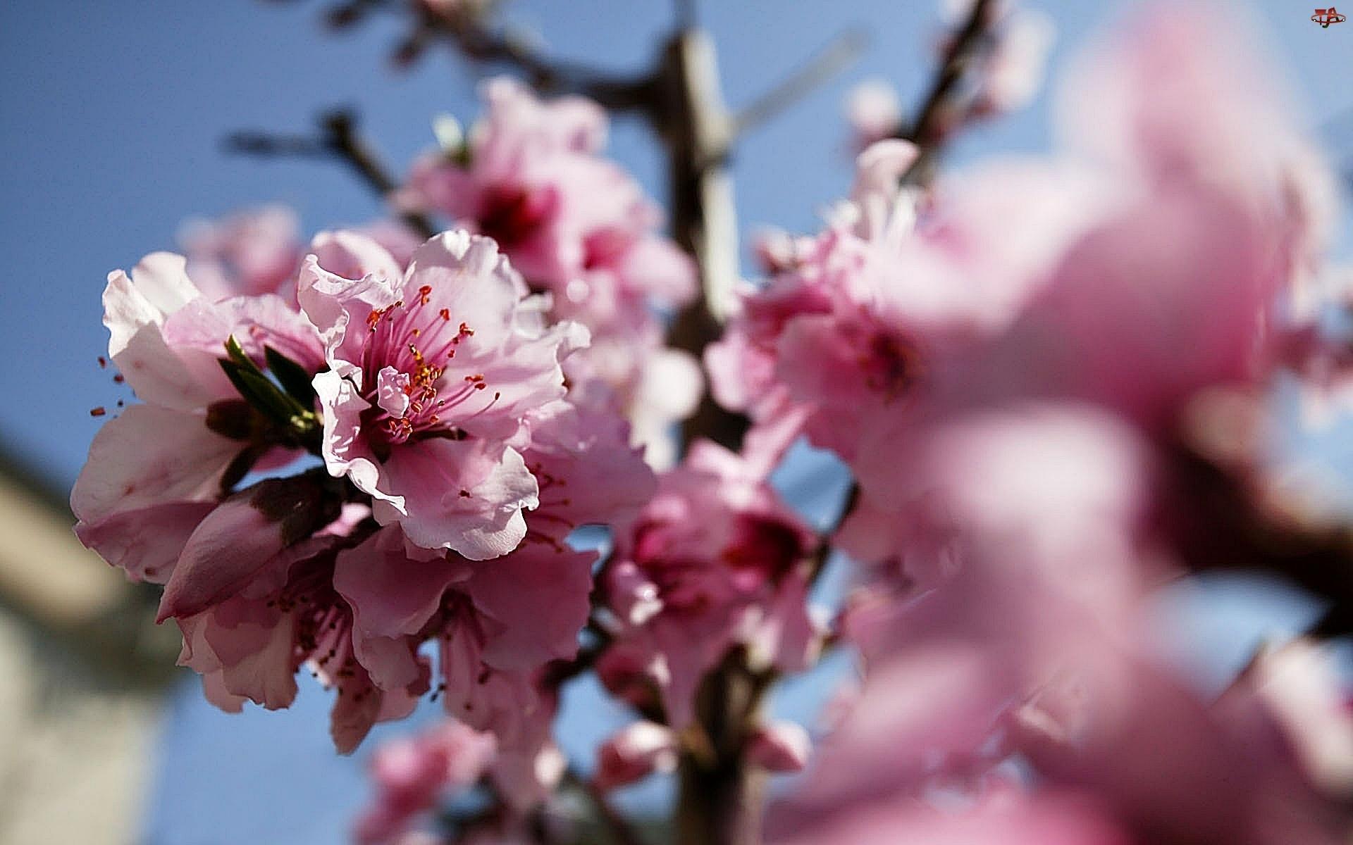 Wiosna, Kwiat, Brzoskwinia
