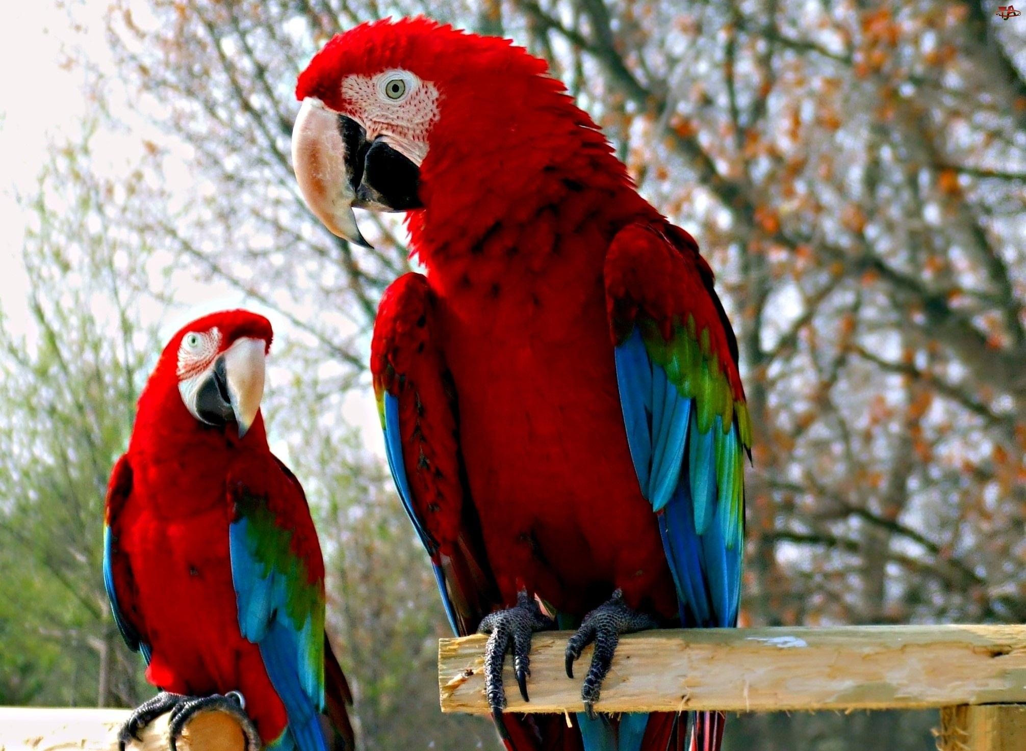 Dwie, Papugi, Czerwono, Niebieskie