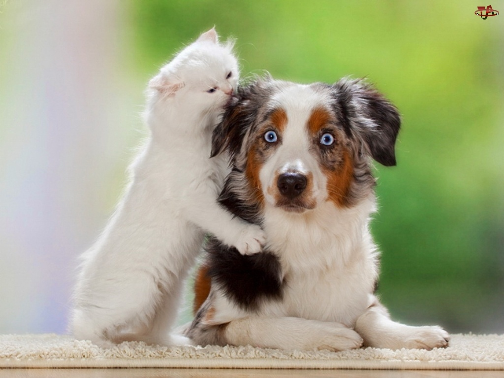 Pies, Australijski pies pasterski, Kot, Przyjaciele