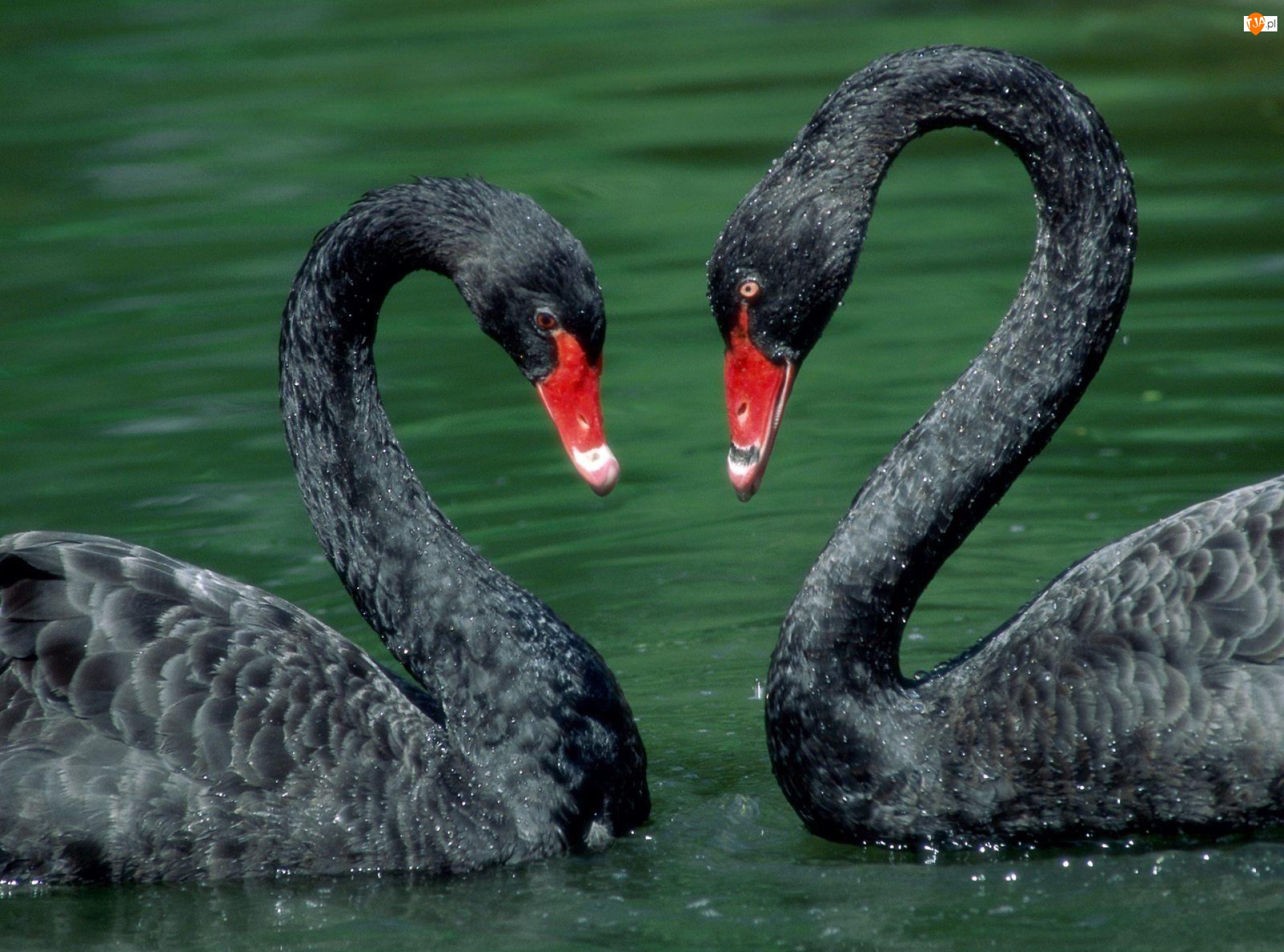 Serce, Walentynki, 2 Czarne Łabędźie