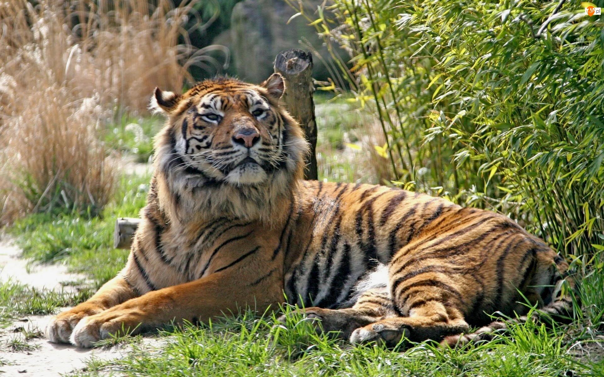 Trawy, Leżący, Tygrys