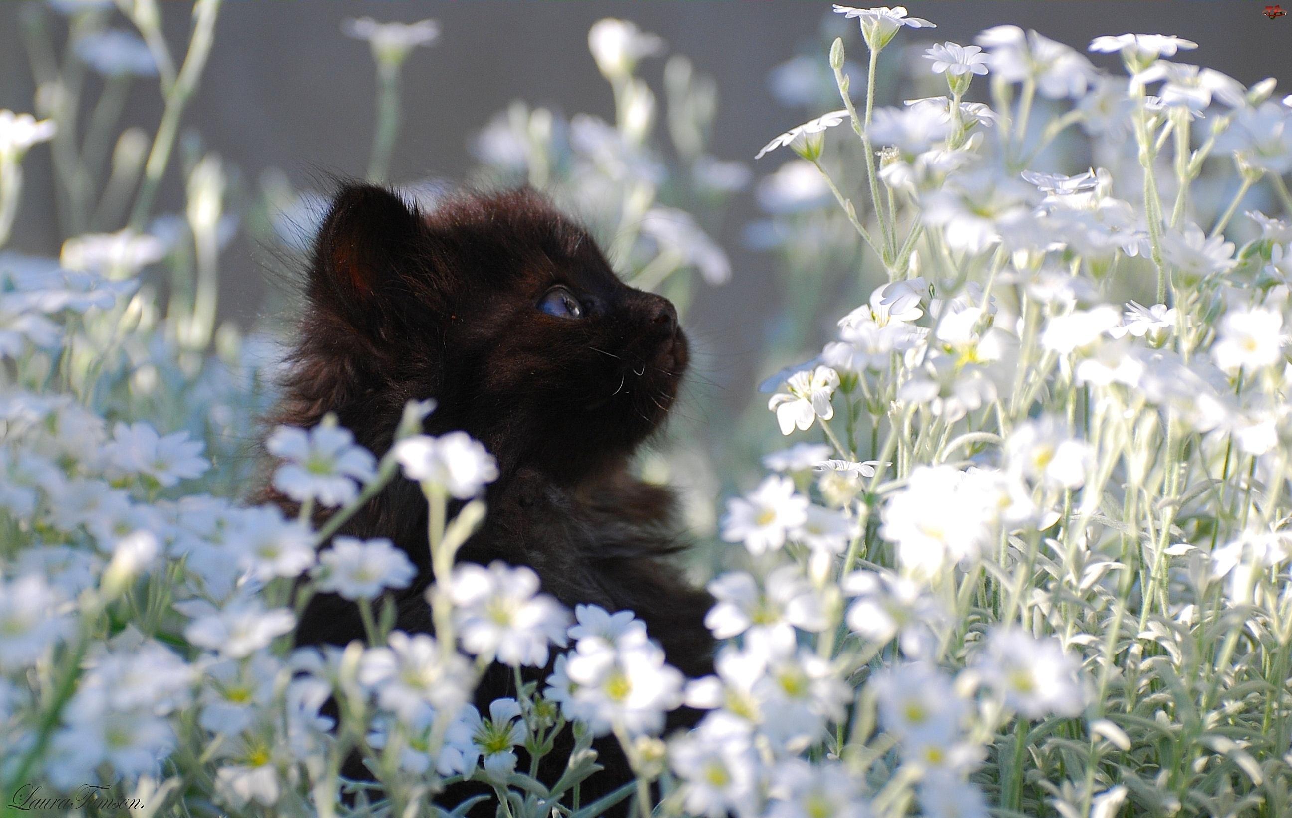 Kwiatki, Czarny, Kotek