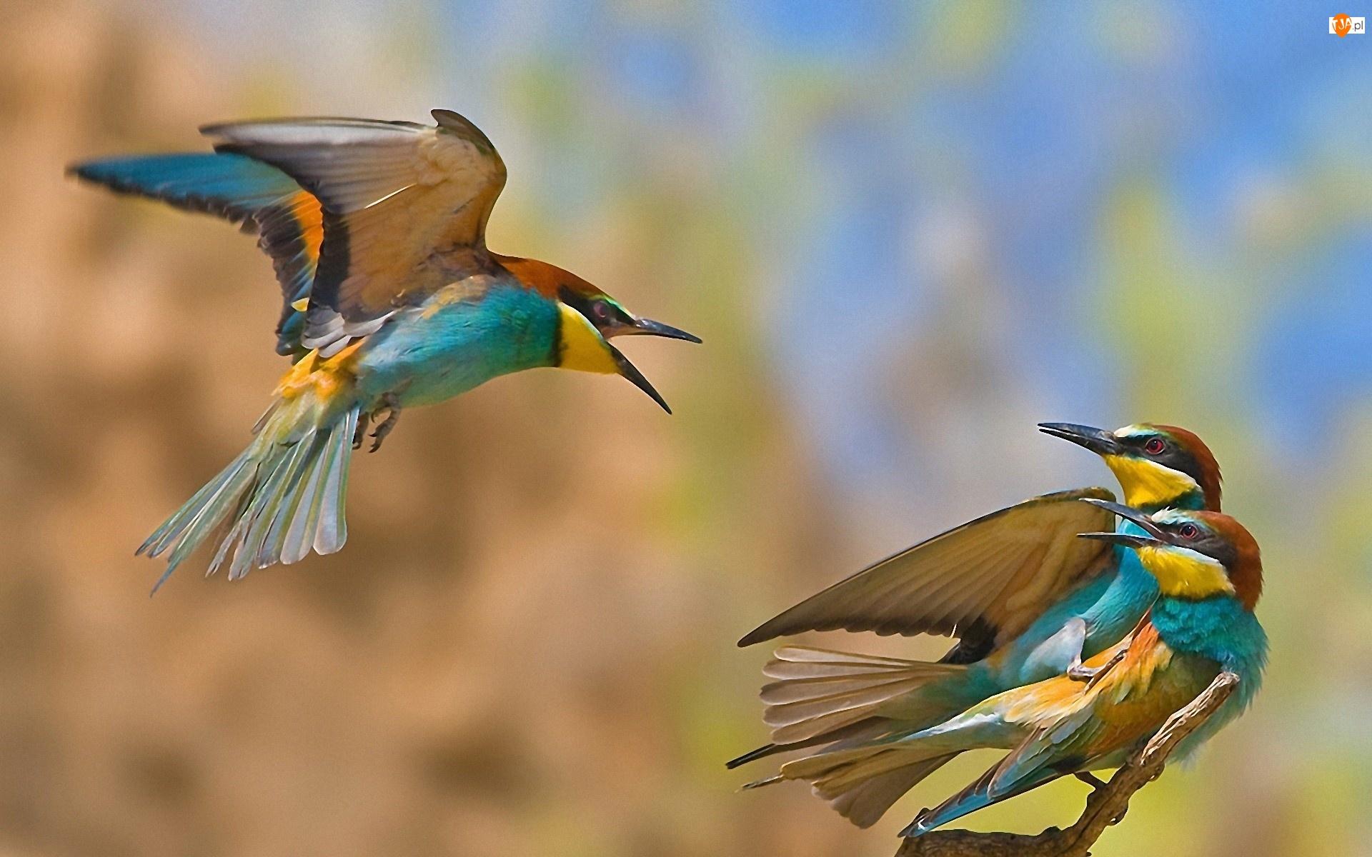 Ptaszki, Trzy, Kolorowe