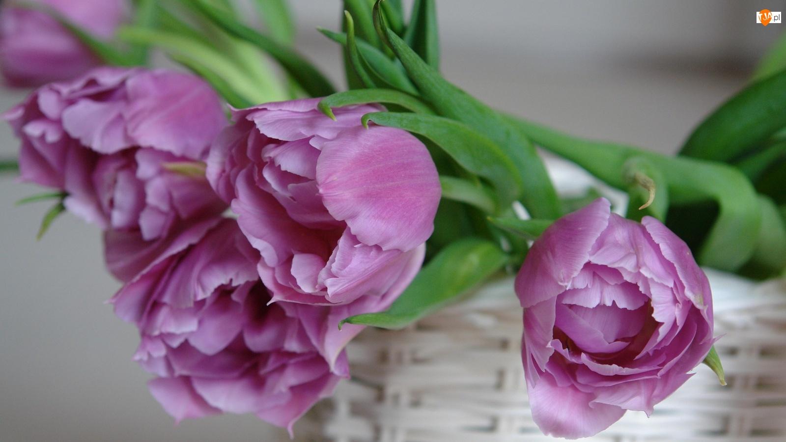 Biały, Tulipany, Kosz, Fioletowe