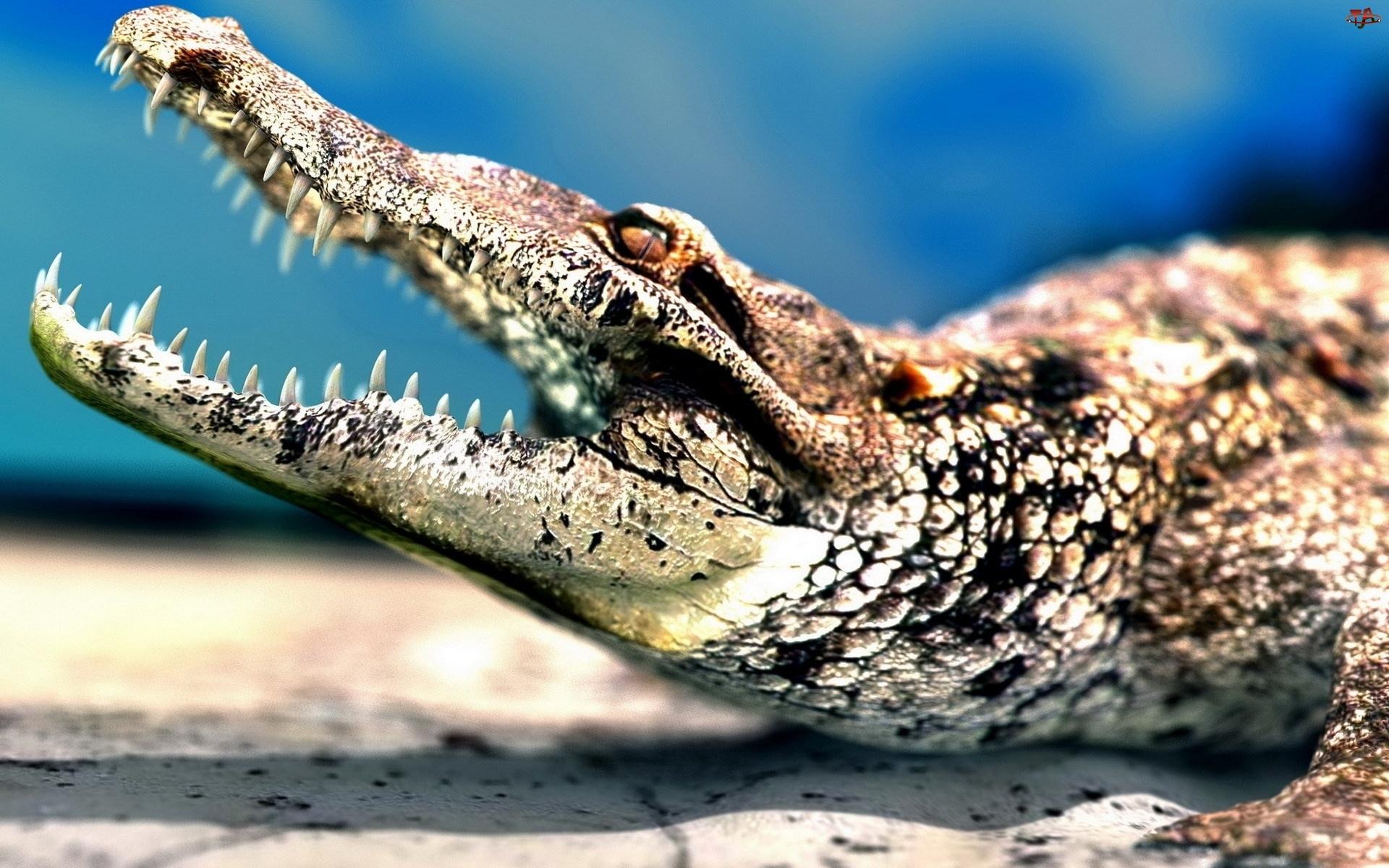 Zęby, Krokodyl, Paszcza