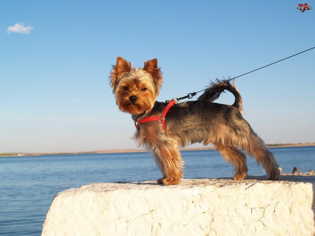Smycz, Piesek, Yorkshire Terrier