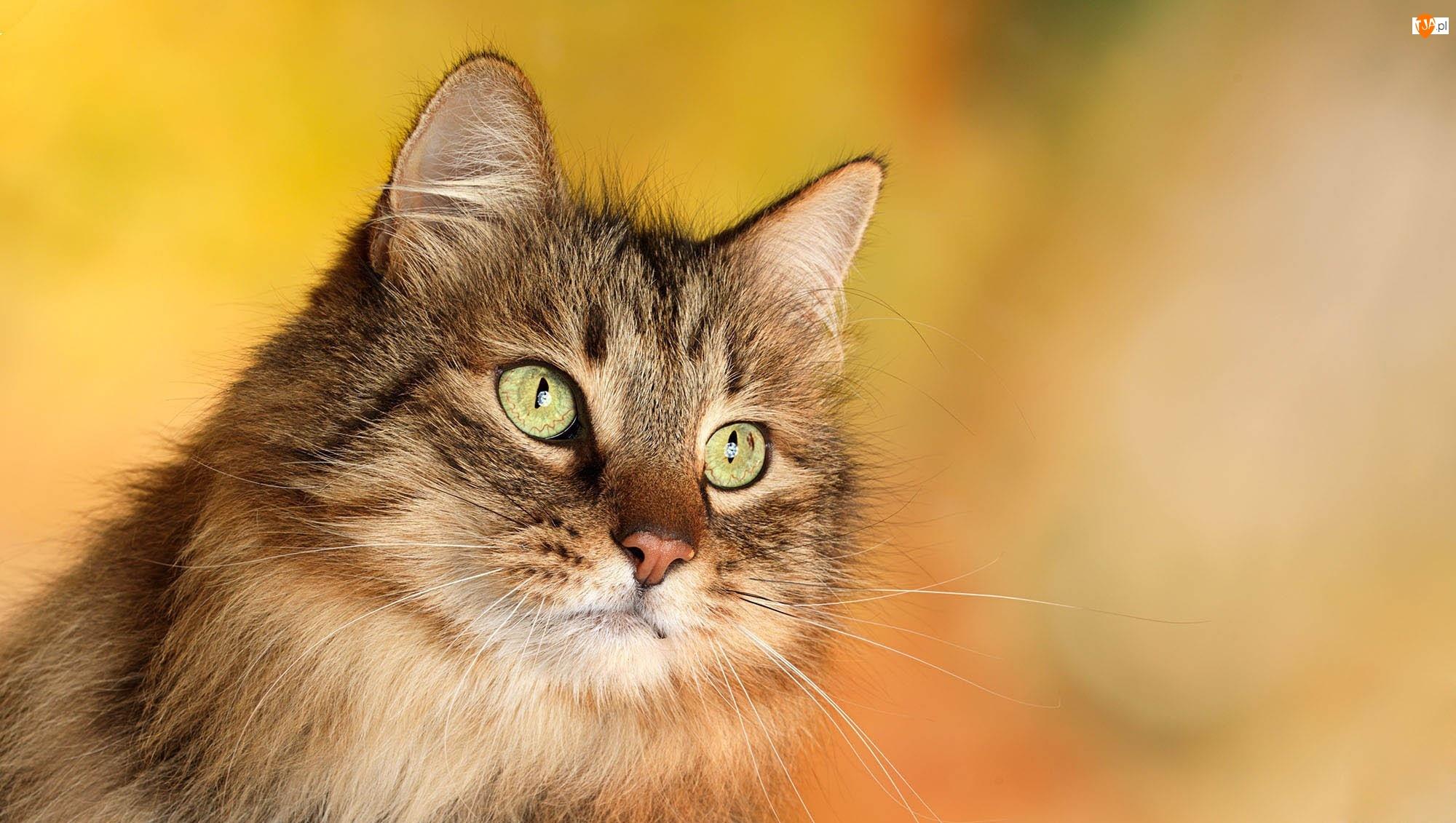 Oczy, Kot, Zielone