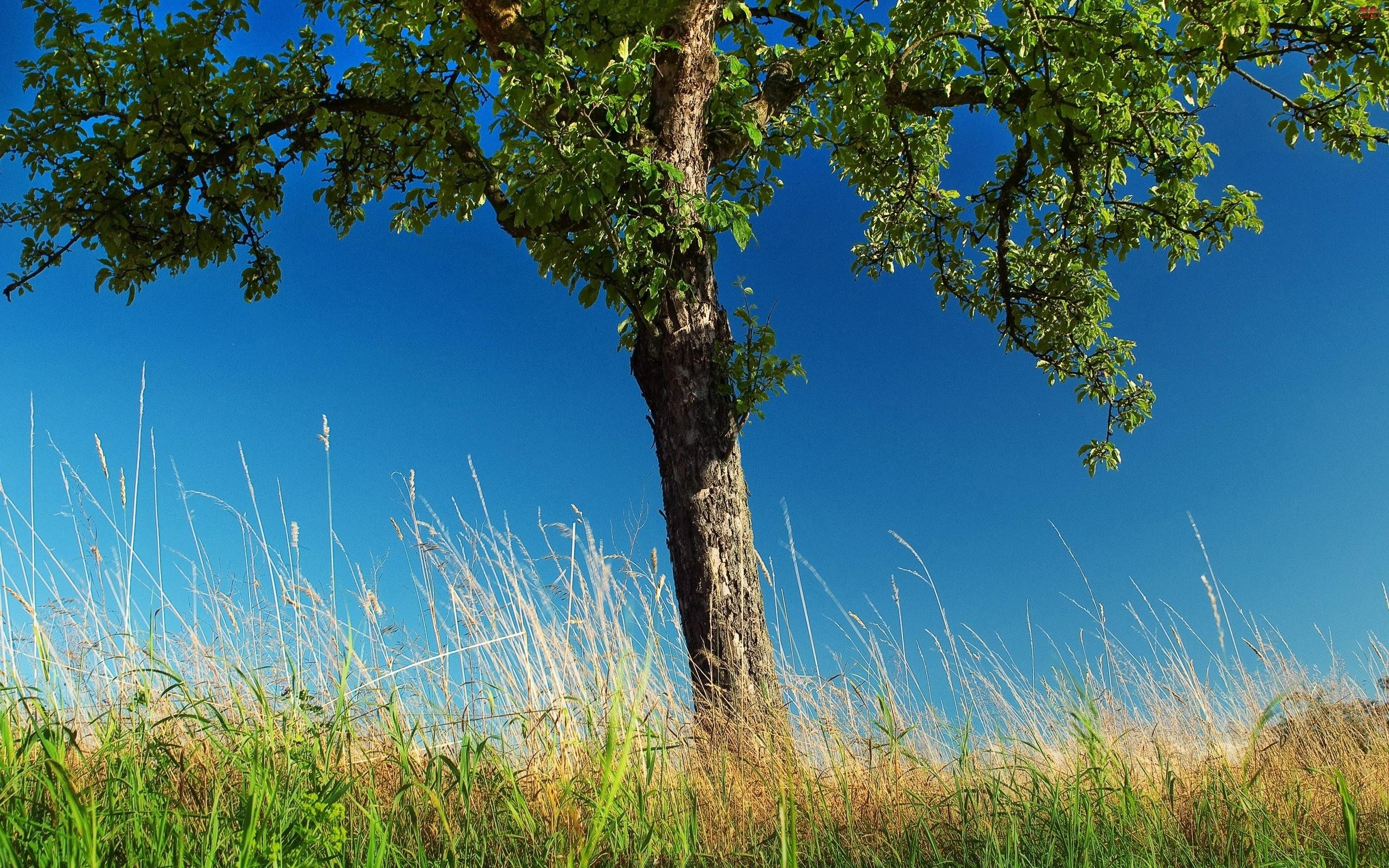 Drzewo, Nieba, Trawa, Błękit