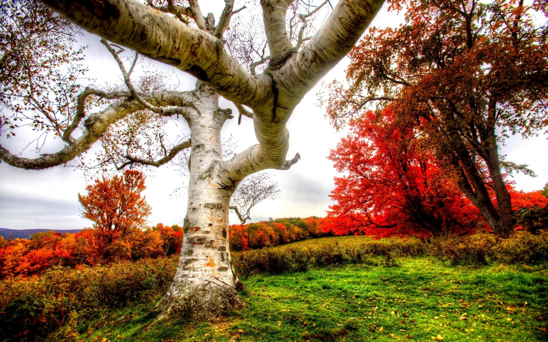 Jesienne, Brzoza, Drzewa, Biała
