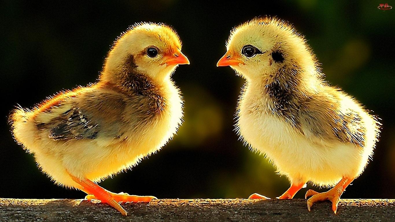 Kurczaki, Drzewo