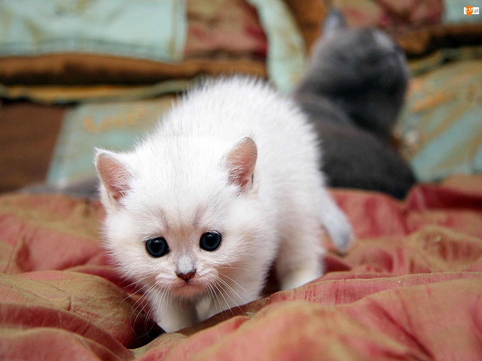 Kociak, Biały, Puszysty